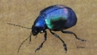 Digital painting of a beetle.