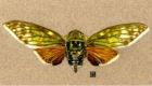 Colored pencil drawing of a cicada. This is now in a private collection in Australia.
