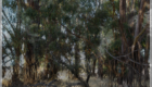 Photo of stringybark gum trees edited with cloning and hand painting. I took this photo in Kojonup Western Australia.